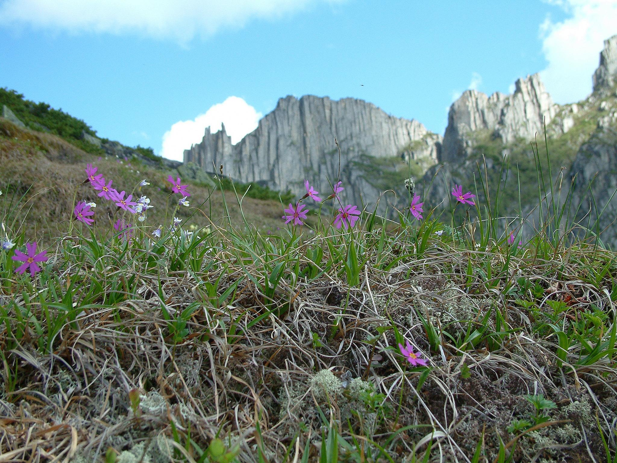 Примулы в горах Дуссе-Алиня