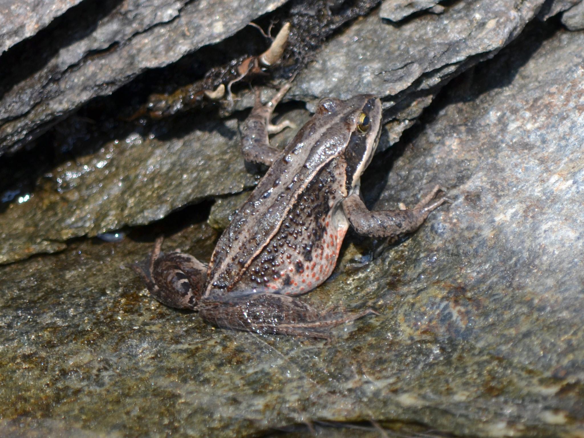 Сибирская лягушка, обнаружена у самых границ заповедника