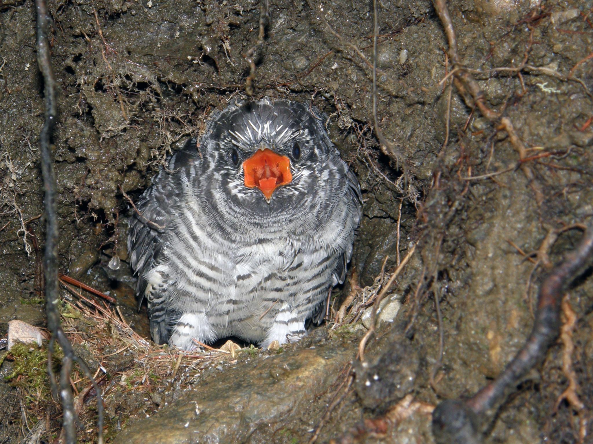 Птенец обыкновенной кукушки в гнезде синехвостки