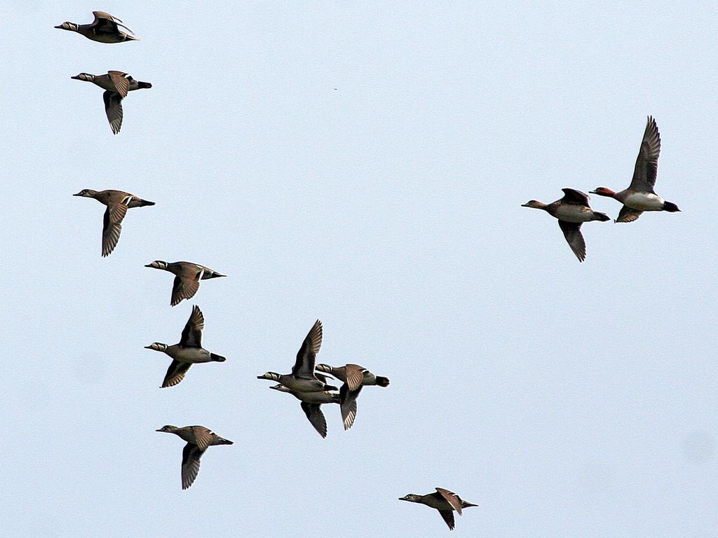 Утки на пролете: чирки-клоктуны,  свиязи