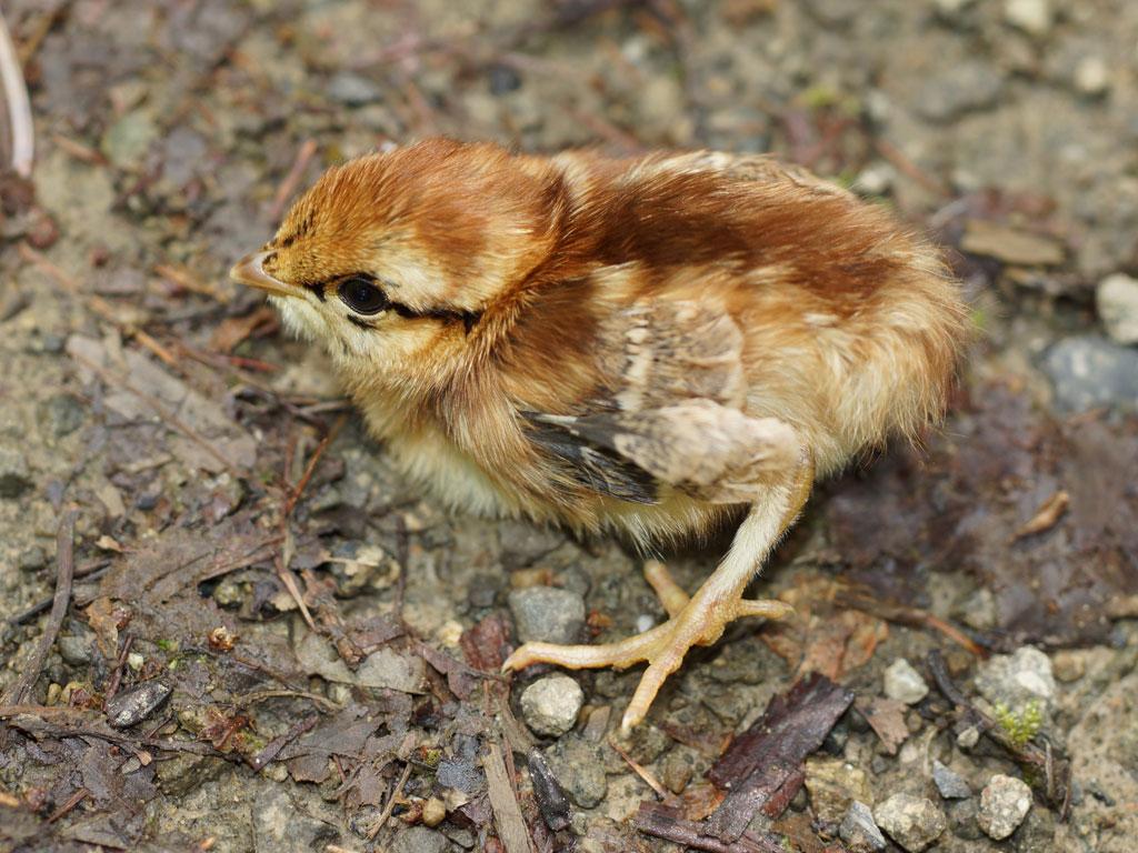 Птенец рябчика