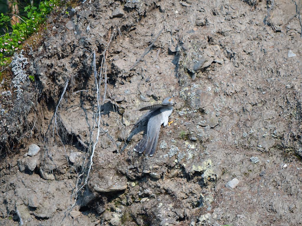 Кукушка карабкается по обрыву к гнезду горной трясогузки