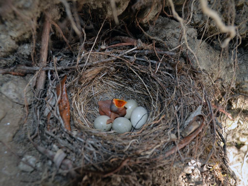 Однодневный птенец кукушки обыкновенной в гнезде горной трясогузки