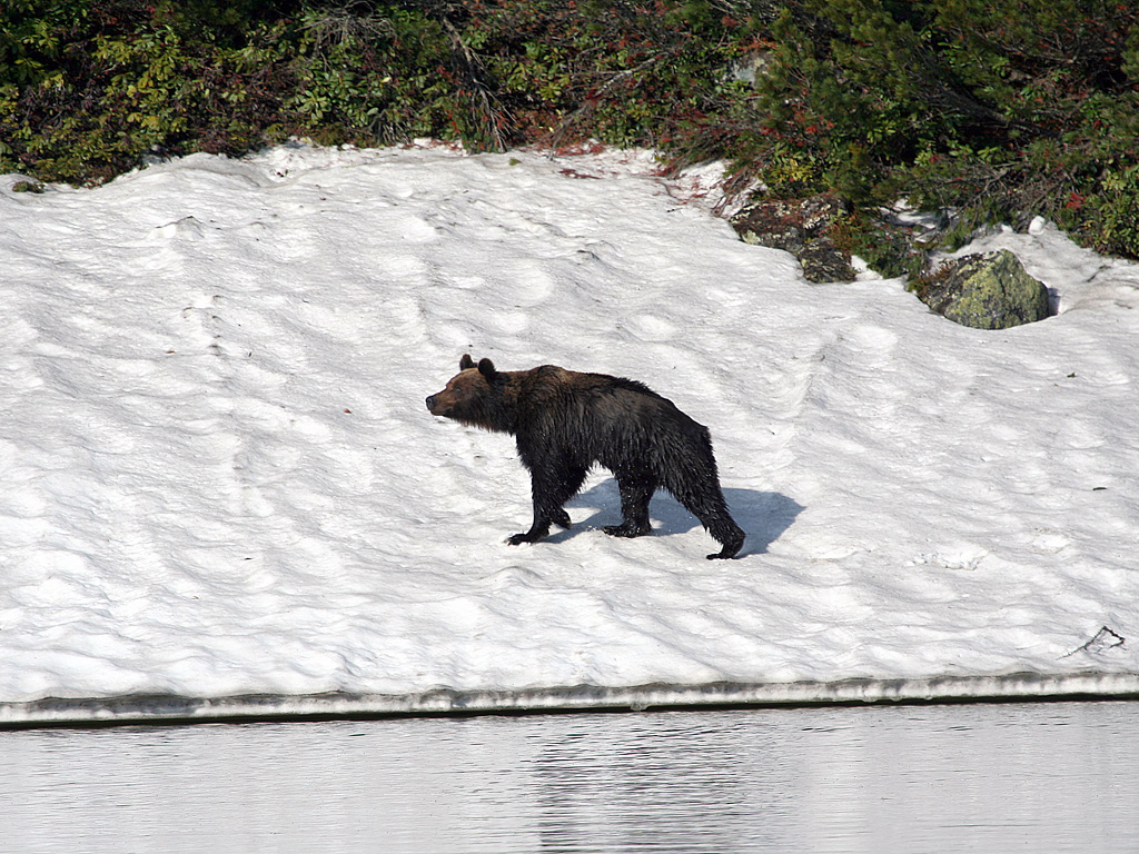 Бурый медведь. Конец июня, а снег местами еще не растаял.