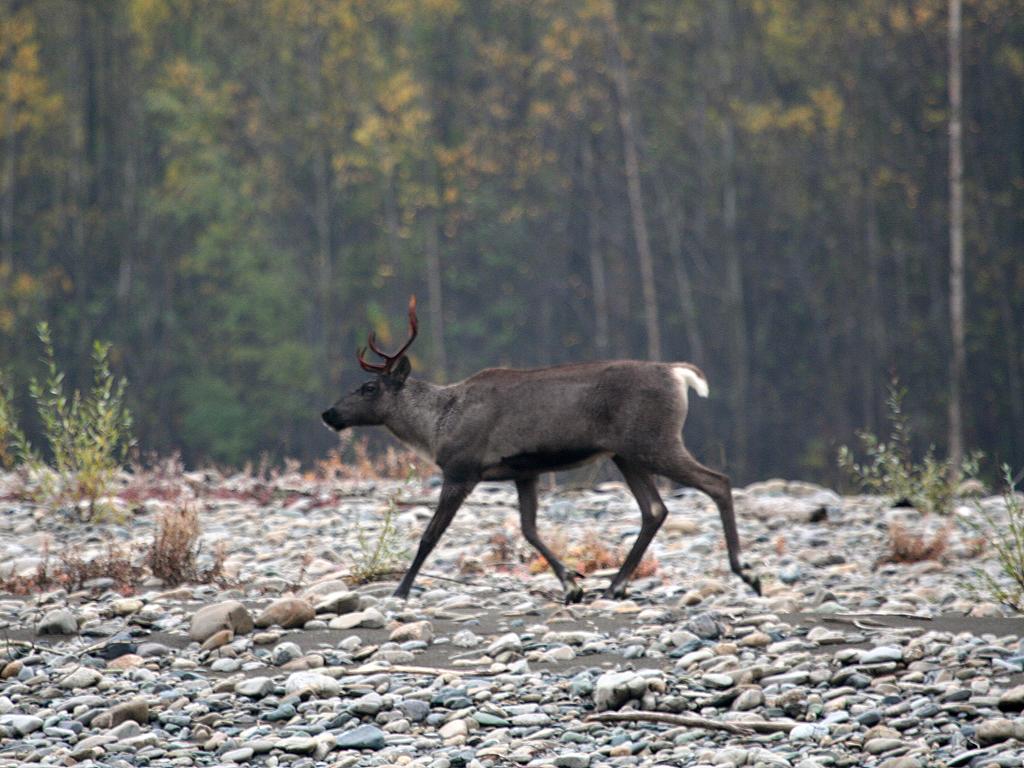 Северный олень в летнем меху