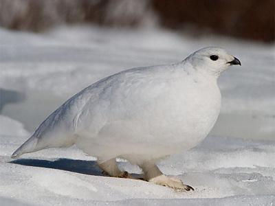 белая-куропатка