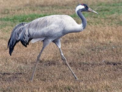 серый-журавль