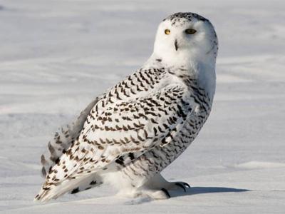 белая-сова