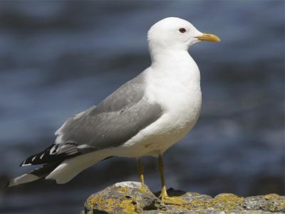 сизая-чайка