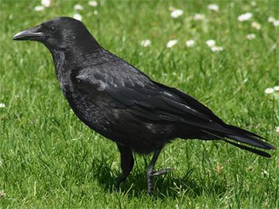 черная-ворона