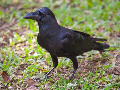 большеклювая-ворона