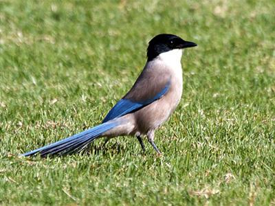 голубая-сорока