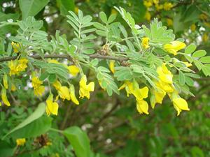 akaciya-zheltaya