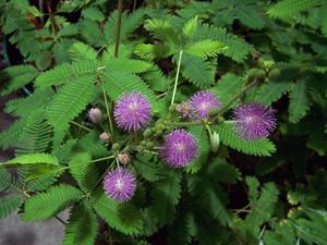 mimoza-stydlivaya