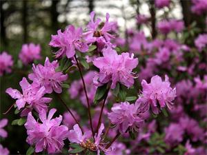 rododendron-daurskij